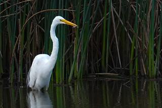 Great Egret with Fish - Sacramento, CA