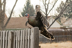 Turkey tom hops the fence