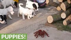 Jack Russell Terrier puppies take on robot spider (Darth Viral) Tags: dogvideos dogsandpuppies funnydogs funnypets funnyvideos petvideos puppyvideos viralvideos