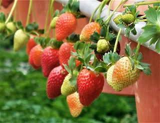 strawberries (close-up)