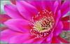 All Bees Welcome (tdlucas5000) Tags: echinopsis blooms flower flowers macro closeup bokeh california spring d850 sigma105 cactus cactusflowers