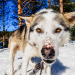 Husky dog in Tahko holiday resort thumbnail
