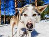 Husky dog in Tahko holiday resort (VisitLakeland) Tags: outdoor tahko winter finland activity travel holiday aktiviteetti dog husky koira