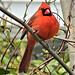 Male northern cardinal, Massapequa, New York