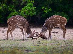 Sri Lanka '17_0491 (Jimmy Vangenechten 76) Tags: geo:lat=841705446 geo:lon=7999395420 geotagged srilanka ceylon asia azië indianocean indische oceaanwildlifeanimaldierwilpattu national parkchitalcheetalaxis axis ceylonensisspotted deeraxis deer axishert