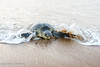 Olive ridley coming to the beach to lay her eggs (asheshr) Tags: arribada gokurkuda lepidochelysolivacea beach d7200 incredibleindia india nature nikkon nikkond7200 nikkor odisha oliveridley orissa rushikulya sunrise turtle turtles wildanimal wildlife