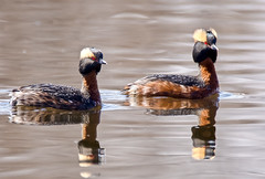 Horns (Scott M. Mohn) Tags: colorful pair golden birds wildlife water reflections crest minnesota feathers migratory nature wild ochre avain gregarious redeyes opportunistic river sony ilca77m2 hornedgrebe podicepsauritus slavoniangrebe