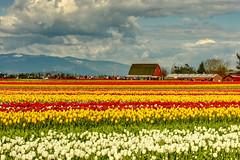 Tulip Field Skagit Valley (paweesit) Tags: tulip tulipfields flowers flora skagitvalley mountvernonwa washington washingtonstate tulipfestival us paweesit canon sky grass field landscape