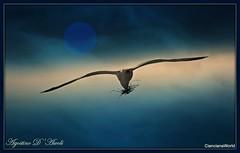 Verso casa - Marzo-2018 (Agostino D'Ascoli) Tags: gabbiano sciacca agostinodascoli uccelli animali cielo azzurro volo ali nikon nikkor texture nature sicilia