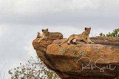 Lion Cubs Rest in the Sun with a View of the Area (robsall) Tags: 2016 500mm 7dmark2 7dmarkii 7dm2 7dmii africa africatourism africawildlifephotography africanwildlife big bigcat bigcats canon canon500mmf4lisiiusm canon500mmf4 canon500mmf4lii canon500mmf4ii canon7dmark2 canon7dmarkii canon7d2 canon7dm2 canoneos canoneos7dmark2 canoneos7dm2 carnivore cat endangered family feline largefelines lion lioness lions mammal pantheraleo predator robsallaeiral robsalldrone robsalldronephotography robsallphotography robsallwildlifephotography tanzania tanzania2016 vacation vulnerable manyararegion