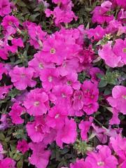 Flowers Excitement (zohaibusmann) Tags: flowers pinkflowers springflowers springishere colorsofflowers colorsofspring spring plantsandflowers leavesandflowers flowersandcolors flowerscolors flowersfrenzy alltypesofflowers beautifulflowers loveofflowers zohaibusmanphotography ngc poshe550