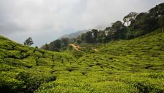 India - Kerala - Munnar - Tea Plantation - 38 (asienman) Tags: india kerala munnar teaplantagen asienmanphotography