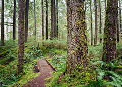 The Way Through (John Westrock) Tags: forest nature trees path trail green ferns northbend washingtonstate pacificnorthwest canoneos5dmarkiii canonef2470mmf28lusm