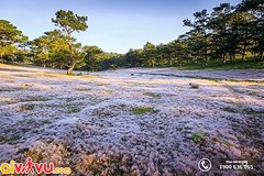 Đồi cỏ hồng tại Đà Lạt (lthuong2608) Tags: cỏ hoa cây câycối bầutrời bìnhminh