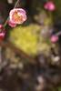 The plum blossoms in Shukkeien garden,Hiroshima city 2018/03 No.5. (HIDE@Verdad) Tags: lzosindustar61lzmc50mmf28 pentaxistds pentax istds industar61 russian