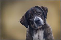 Mirada de afecto. (antoniocamero21) Tags: animal pelo perra mamífero guardián retrato ojos español mastín gala
