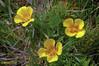 California Poppy (Eschscholzia californica), #2 (Greatest Paka Photography) Tags: californiapoppy poppies chimneyrock marincounty wildflower pointreyespeninsula californiastateflower eschschoiziacalifornica orange spring