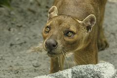 Fossa (ucumari photography) Tags: ucumariphotography naples fl florida march 2018 fossa cryptoproctaferox animal mammal dsc3075 zoo specanimal specanimalphotooftheday