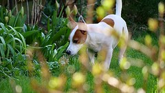 On Patrol (Keith Coldron) Tags: garden tyson dog pet outside