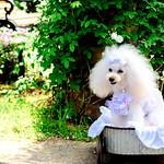 Poodle in Minato-no-Mieru-Oka Park, Yokohama : 港の見える丘公園にて thumbnail