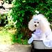 Poodle in Minato-no-Mieru-Oka Park, Yokohama : 港の見える丘公園にて