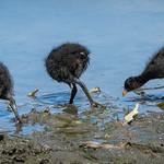 Juvenile Dusky Moorhens (Gallinula tenebrosa) thumbnail