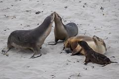 Sea Lions - Seal Bay - Kangaroo Island - Australia (wietsej) Tags: sea lions seal bay kangaroo island australia animal rx10 iv rx10m4 sony rx10iv