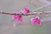 Nectarine Blossom II (Zara Calista) Tags: blooms tree flowrs nectarine spring pink soft light nikon