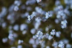 Forget me Not Clouds 0328 (Thorbard) Tags: garden nationaltrust nymans spring spring2018 forgetmenots flower flowers macro closeup blue blueflowers bokeh blur depthoffield outdoors green soft canonef85mmf18usm