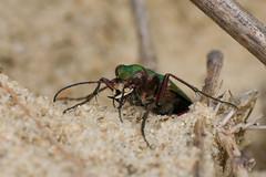 Dünen-Sandlaufkäfer (Nereus[GER]) Tags: dünensandlaufkäfer käfer insekt makro canoneos80d tamron 70300mm raynox dcr 250 nereusger smerlot