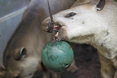 Tapirs and ball (Tambako the Jaguar) Tags: tapir mammal portrait dark playing ball green hanging food eating openmouth funny zoo zürich nikon d5 switzerland