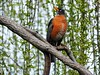 American Robin (starmist1) Tags: sky willow weepingwillow branch limb perch americanrobin april spring