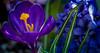 crocus & hyacinth~vibranium? (ttounces) Tags: crocus potent vibranium power ttounces ~jan~ exreme positive black panther hyacinth spring flowers 1001nightsmagicgarden