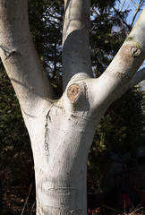 Trees that look back (paul indigo) Tags: paulindigo bark colour garden knots tree trees white