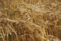 Пшениця, жито, овес InterNetri  Ukraine 027