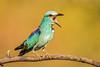 European Roller (ian_tilden) Tags: birdperfect coraciasgarrulus serbia roller wow closeup ornithology bird