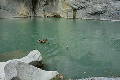 Tigger Swimming 4 (Bob Hawley) Tags: asia chiayicounty taiwan qingyunfalls nikond7100 nikon28105mmf3545afd waterfalls water rivers dogs pets taiwantugou formosanmountaindogs cliffs playing sticks