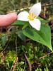 Tiny Trillie (With Even Tinier Bug) (frosty_white_raven) Tags: trillium trilliumovatum westerntrillium riverviewforest coquitlam bc britishcolumbia canada iphone 6s iphone6s