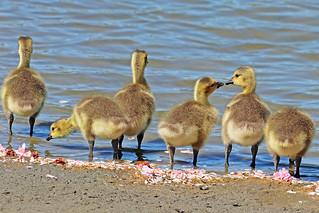 Canada Geese Goslings 18-0505-5898