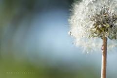 Dandelion (Daniela Romanesi) Tags: 2125 dandelion dentedeleão sky blue macro drops water detail closer nature natural