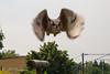 Rocket Owl (payne1703) Tags: owl highspeed nature timing