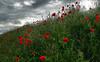 nature's contrasts (richy vanesio) Tags: papavero nature poppy mohn contrast egna neumarkt südtirol southtyrol altoadige sudtirolo bassaatesina argine