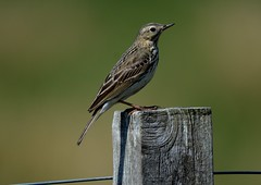 Meadow Pipit (jimbrownrosyth) Tags: