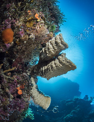 Spong Heaven (Cruising, traveling & dive pics.) Tags: 2017 png milnebayprovince coral
