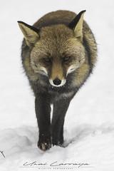 Entre el silencio del bosque. (Fotografias Unai Larraya) Tags: zorros animales fauna urbasa navarra nieve invierno frio ngc