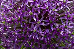 Purple Allium (brucetopher) Tags: purple allium alium flower ball onion persianonion dutchgarlic umbel flowering ornamental petals bloom blooming blooms garden flowers