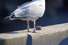 Ringed Herring Gull. (artanglerPD) Tags: ringed herring gull peterhead harbour yellow silver ringeuropelarusargentatus yt624