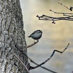 just passing through (ihynz7) Tags: bird goldencrownedkinglet kinglet illinois migrating riverside