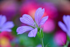 Find your happy place (James_D_Images) Tags: flower purple garden bokeh red orange green nature petals