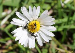 Marguerite commune (HYB17) Tags: marguerite commune leucanthemum vulgare